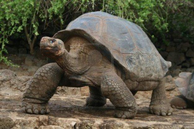 3147893-galapagos-giant-tortoise