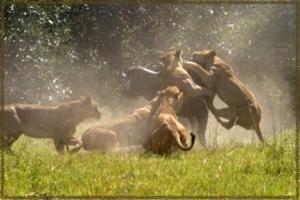 lions attacking prey wildebeast