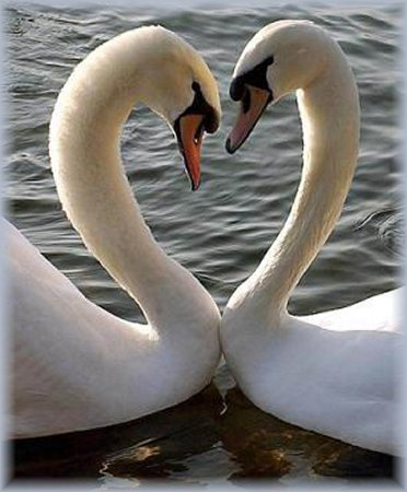 pair-bonding_heart-swans