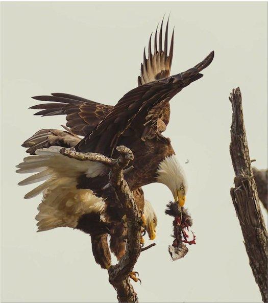 eagle1_0