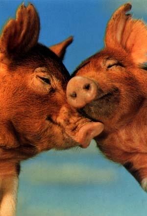 s-kissing-pigs
