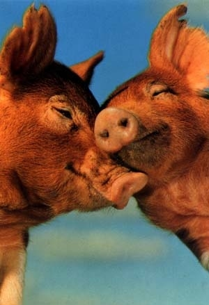 s-kissing-pigs