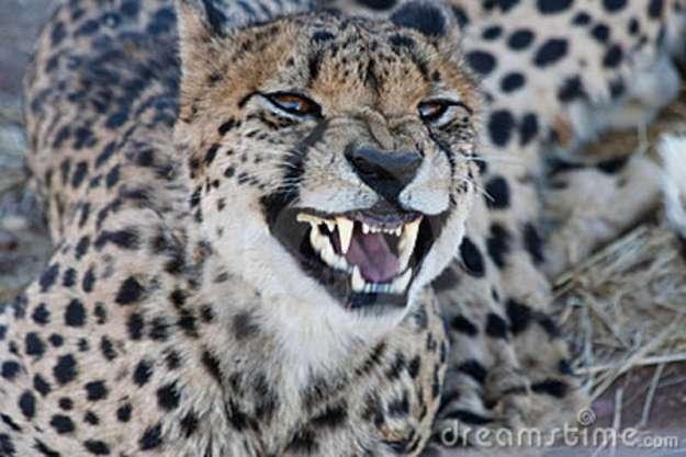 growling-cheetah-17947664