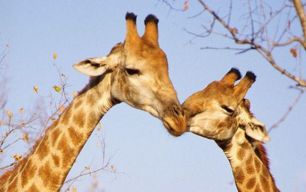 giraffe_in_wild