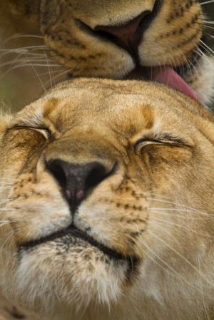 s-Lion-love