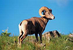 5-Bighorn-1