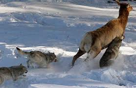 """reintroducing wolves to yellowstone and idaho essay Reintroducing canadian wolves to the wild saved essays this debate began when the federal proposed to """"reintroduce"""" wolves into the yellowstone."""