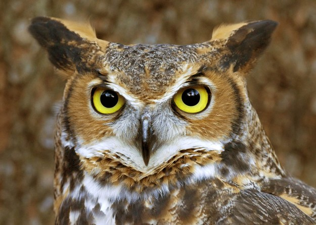 Great_horned_owl_face_2_copy