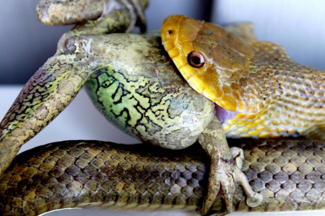 snake with frog prey