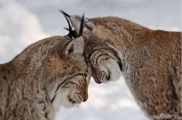 Two-Lynx-In-Love-580x382