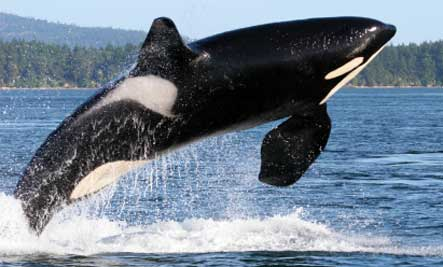 orca-whale-jumping