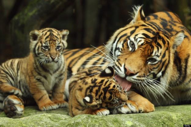 Tiger Triplets Debut At Taronga Zoo