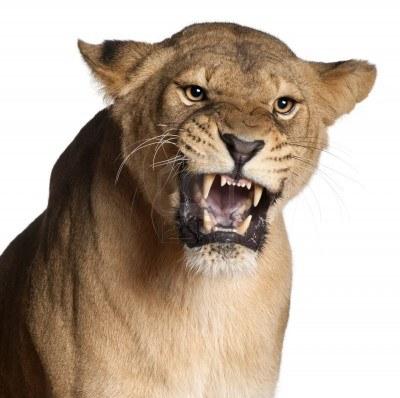 11612749-leonessa-panthera-leo-3-anni-ringhiando-di-fronte-a-sfondo-bianco