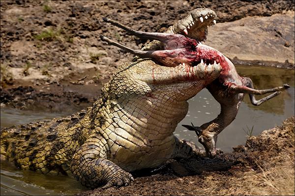 15_nile_crocodile_with_gazelle_prey_17_points