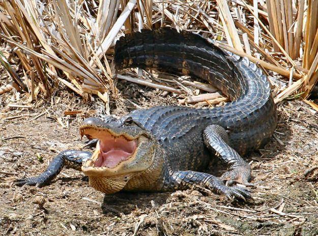 American Alligator - Texas 4-06 - 033