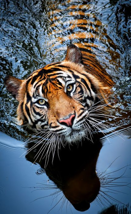 Amur-Tiger-Khabarovsk-Far-East-Russia
