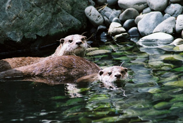 Asian%20small%20clawed%20otter%20002
