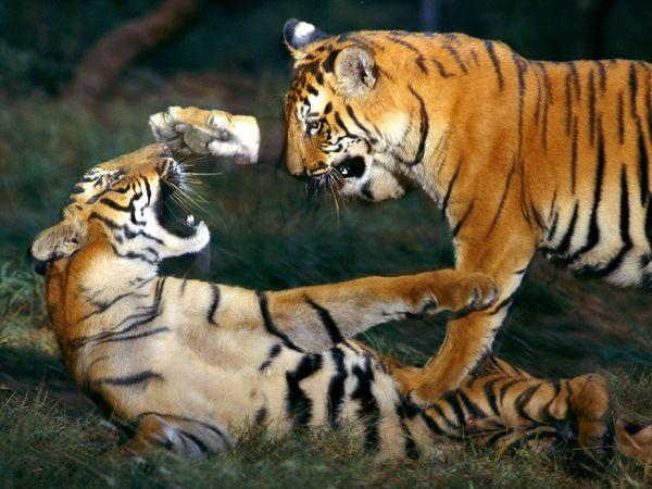bengal-tiger-playing_461_600x450