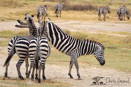 Burchell's zebra CG16