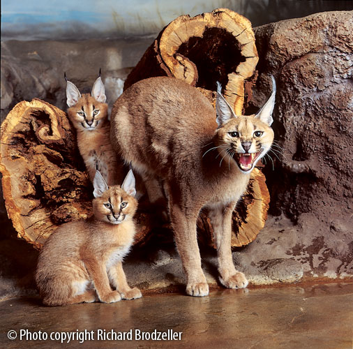 Caracal mother with kittens