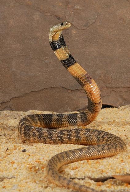Central-Asian-Cobra