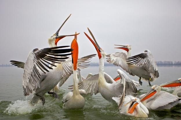 dalmation pelicans1