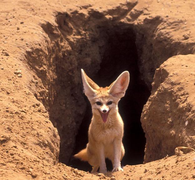 fennec-fox desert