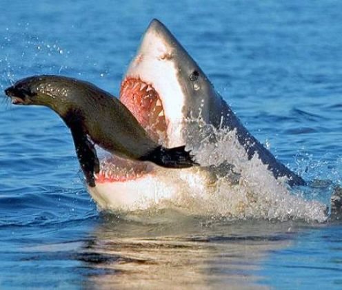 great white shark catching seal