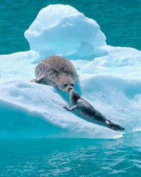 Harbor Seals Kissing