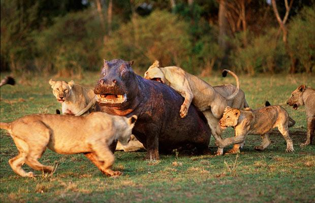 lions attacking hippo