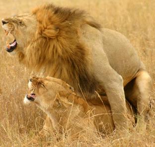 Lions_copulation2