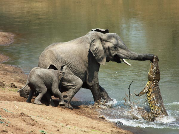 nile crocodile attacking elephant