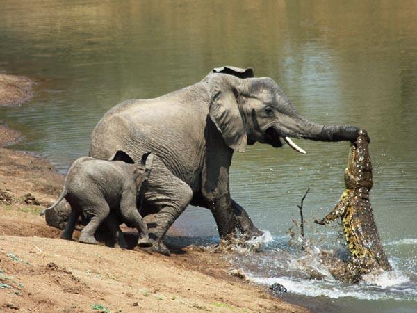 nile crocodile attacking elephant