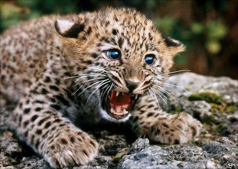 persian_leopard_cub