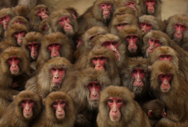 Japanese Macaques Form Huddle To Keep Warm
