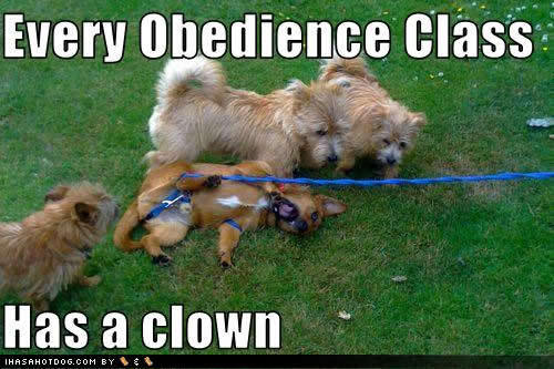 Every-obedience-class-has-a-clown-D-puppies-15137909-500-333