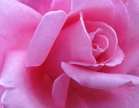11-11-12-rose-jpeg