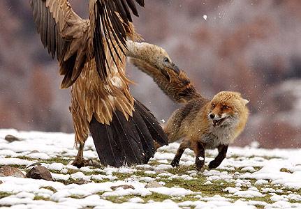 9-feb-vulture-v-fox-431x300