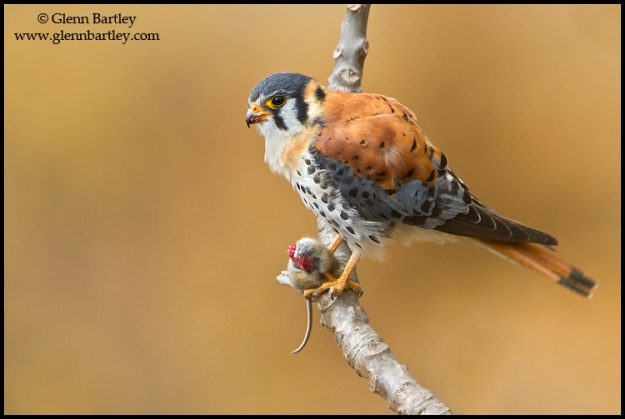 American Kestrel (Falco sparverius) perched on a branch in Peru.