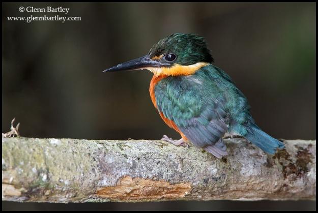 American Pygmy Kingfisher (Chloroceryle aenea) perched on a branch in Ecuador.