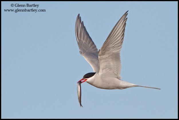 Arctic Tern (Strena paradisaea) flying in Churchill, Manitoba, Canada.