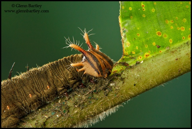Caterpillar perched on a heliconia leaf in Costa Rica.
