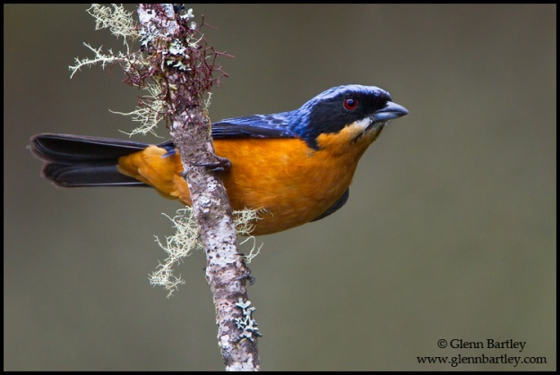 Chestnut-bellied Mountain Tanager - 01