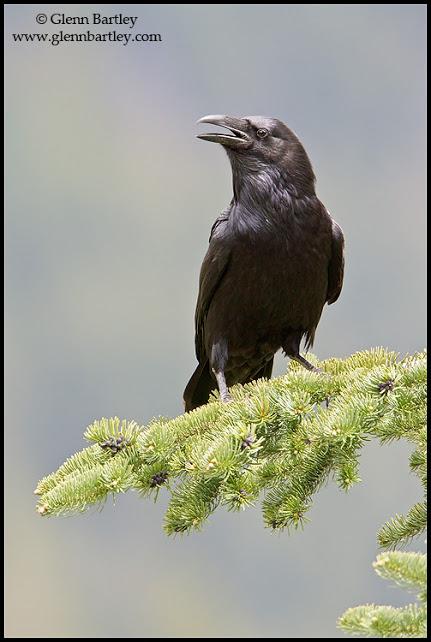 Common Raven - 06