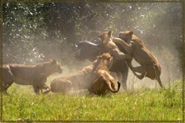 duba-plains-lion-kill