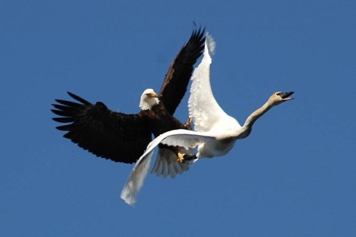 eagle attacking swan