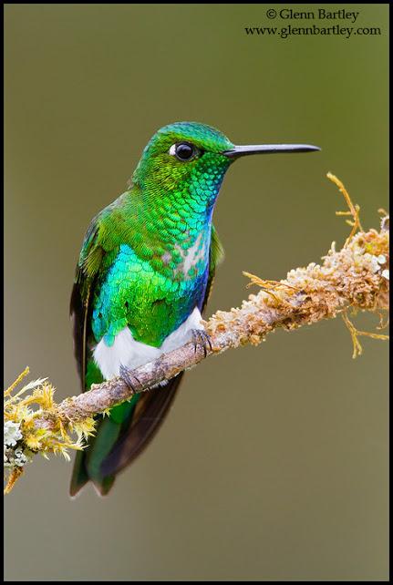 Emerald-bellied Puffleg (Eriocnemis alinae) perched on a branch in Peru.