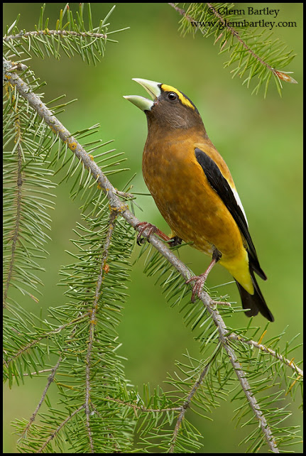 Evening Grosbeak - 07