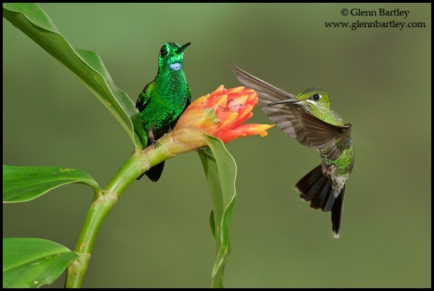 Green-crowned Brilliant - 06