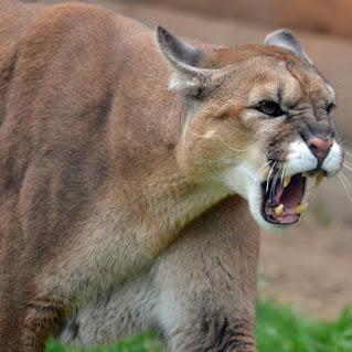 grump_of_a_cougar_by_canislupuscorax-d5irl7z